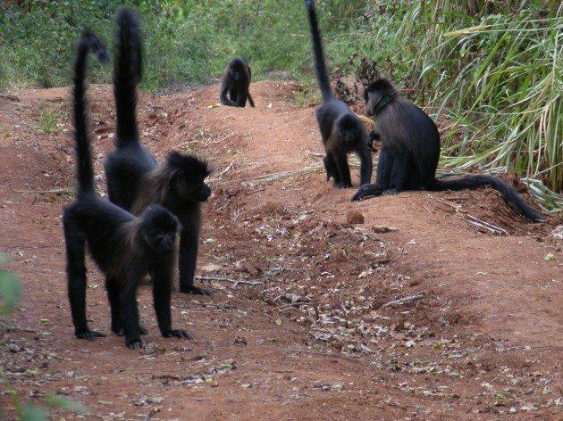 Ugandan mangabeys