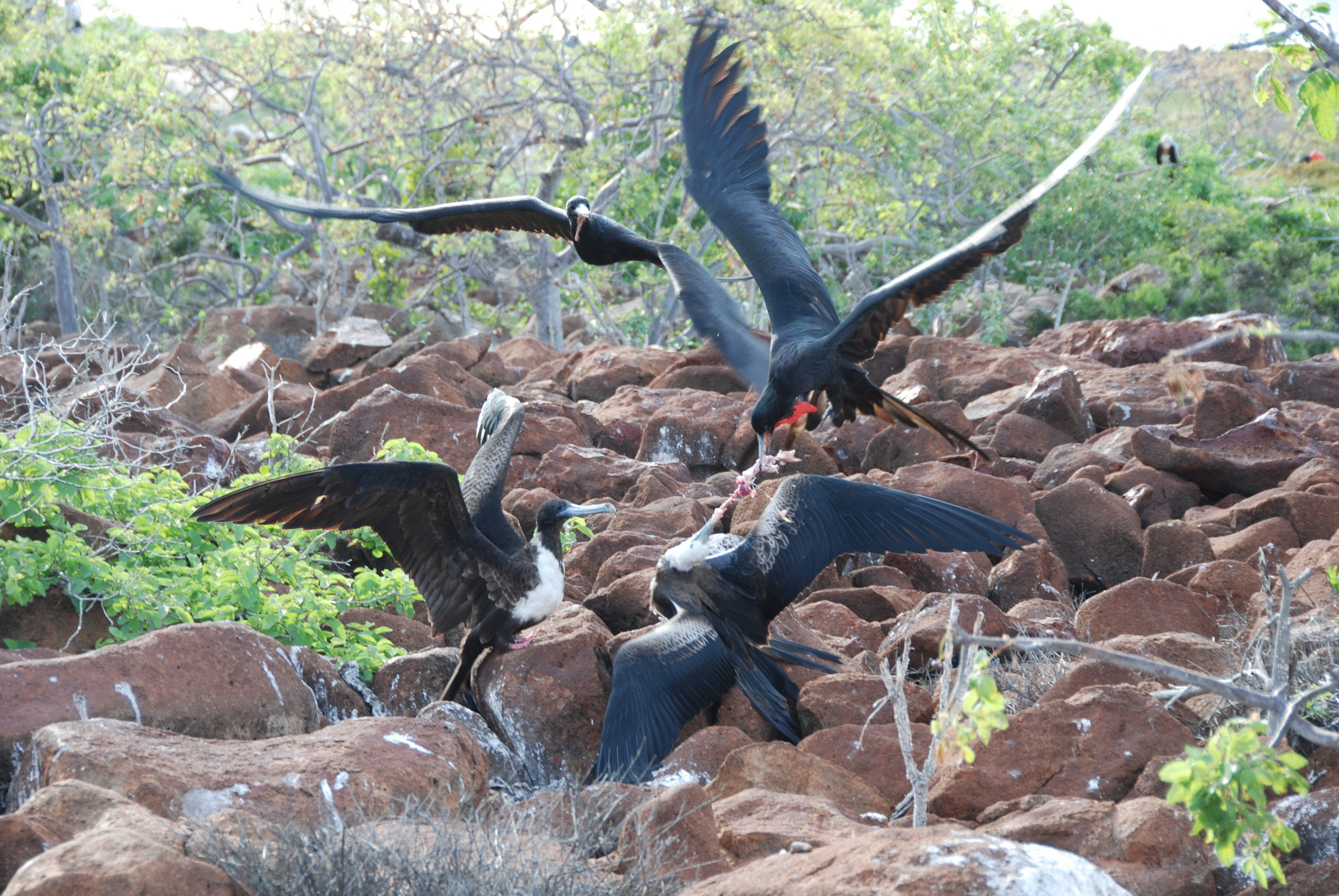 Frigatebirds feeding