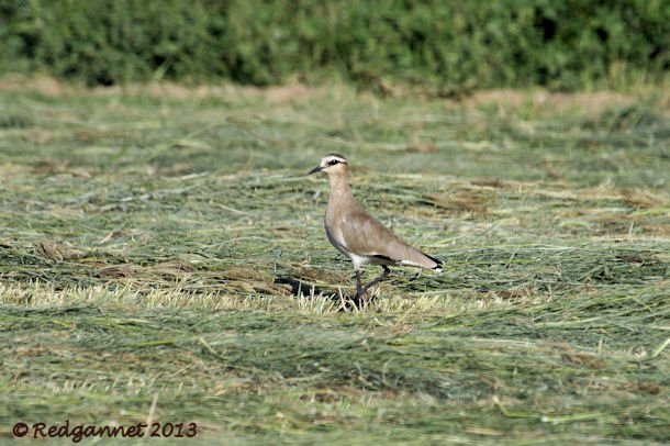 DXB 05Jan13 Sociable Lapwing 05