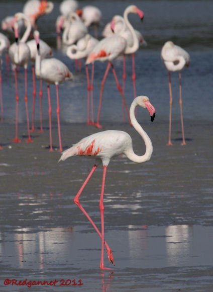 DXB 13Oct11 Greater Flamingo 04