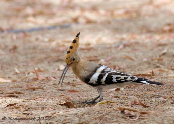 DXB 14May12 Hoopoe 01