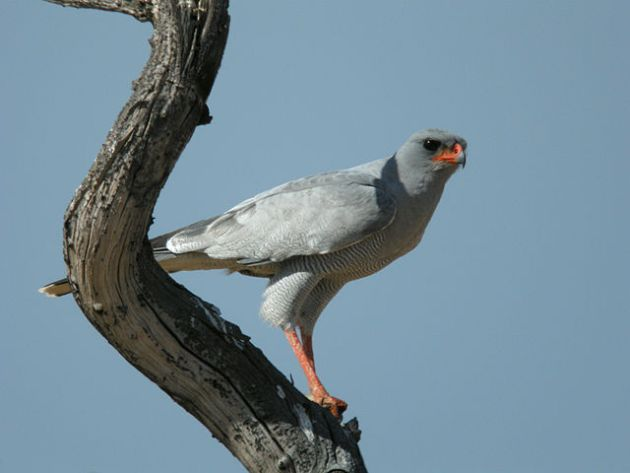 Dark Chanting Goshawk on bare tree