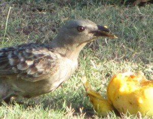 Deformed bill-Great Bowerbird