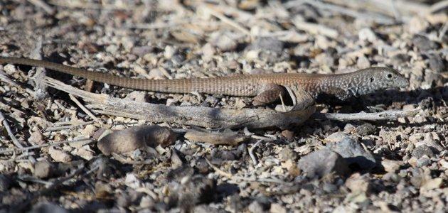 Desert Whiptail