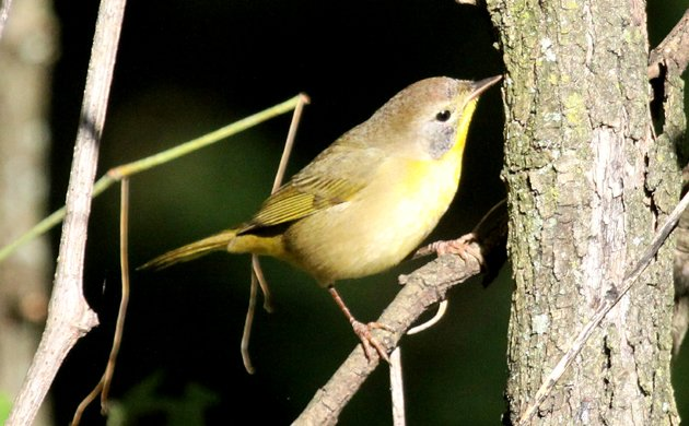 Diabolical Wood-Warbler Quiz Picture 3 Answer