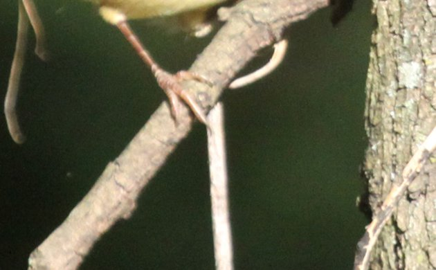 Diabolical Wood-Warbler Quiz Picture 3