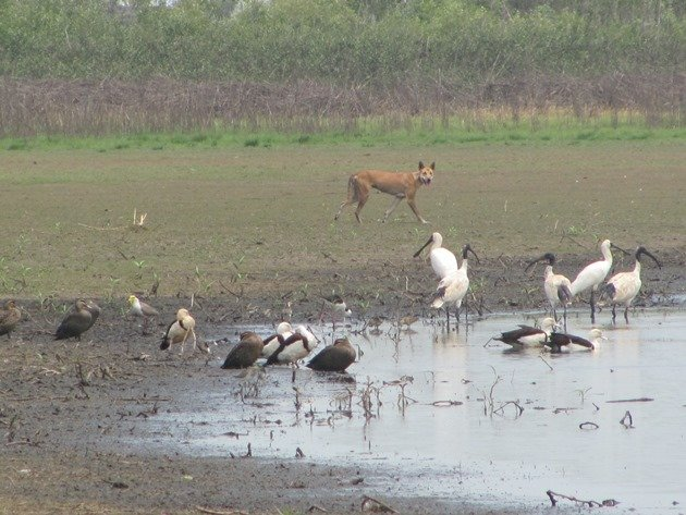 Dingo & birds (2)
