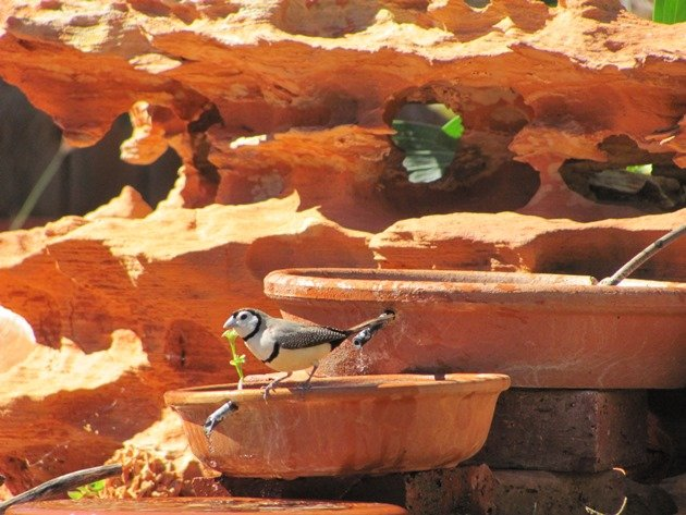 Double-barred Finch (3)