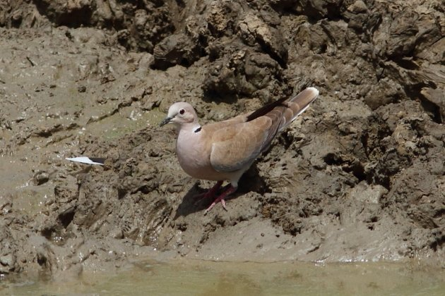 African Collared-Dove by Markus Lilje