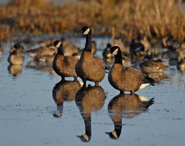 Dusky Canada Geese