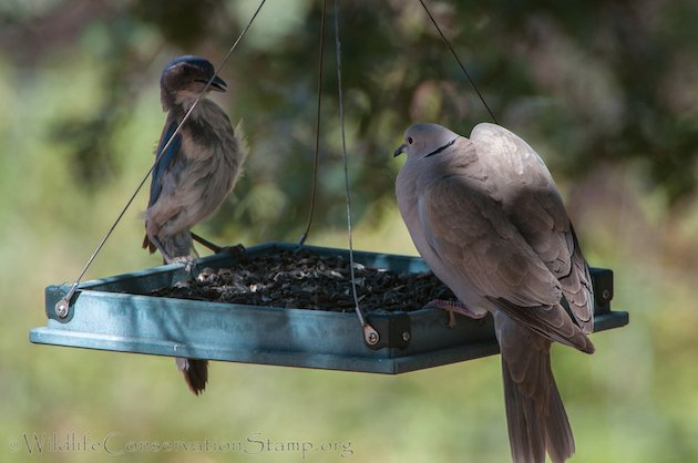 Eurasian Collared-Dove and Western Scrub-Jay