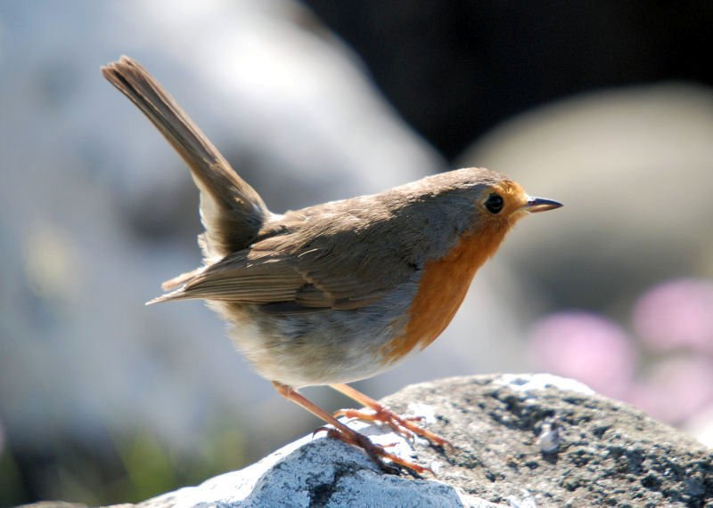 10000 Birds What Is A Robin 10000 Birds