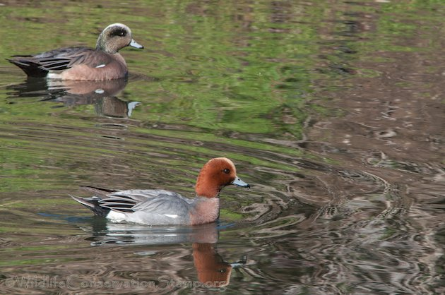 Eurasian and American Wigeon Drakes
