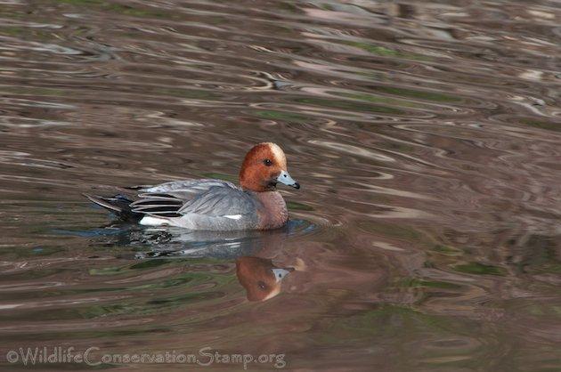 Eurasian Wigeon Drake