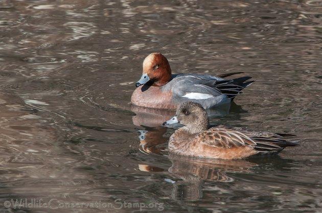 Eurasian Wigeon Pair