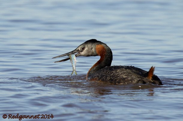 EZE 01June14 Great Grebe 20
