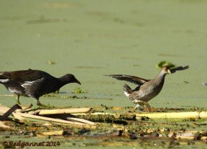 EZE 01June14 Spot-flanked Gallinule 04