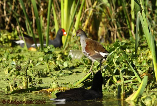 EZE 01June14 Spot-flanked Gallinule 13
