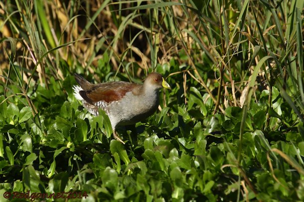 EZE 01June14 Spot-flanked Gallinule 14