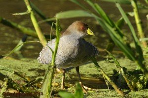 EZE 01June14 Spot-flanked Gallinule 16
