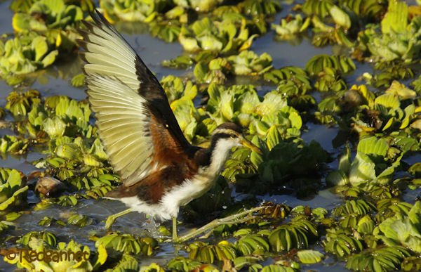 EZE 09May16 Wattled Jacana 07