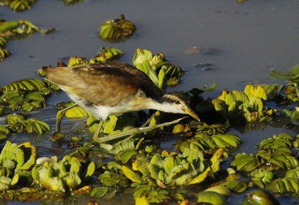 EZE 09May16 Wattled Jacana 08