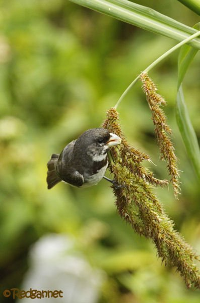 EZE 24Jan16 Double-collared Seedeater 02