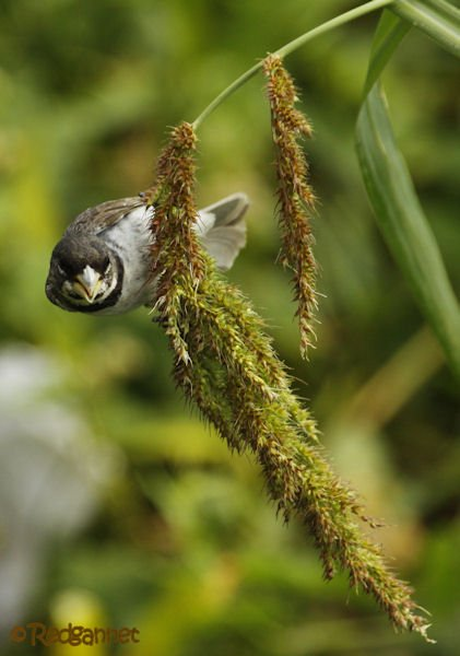 EZE 24Jan16 Double-collared Seedeater 03