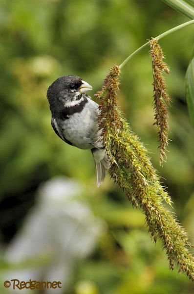 EZE 24Jan16 Double-collared Seedeater 07