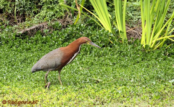 EZE 31Oct15 Rufescent Tiger Heron 04