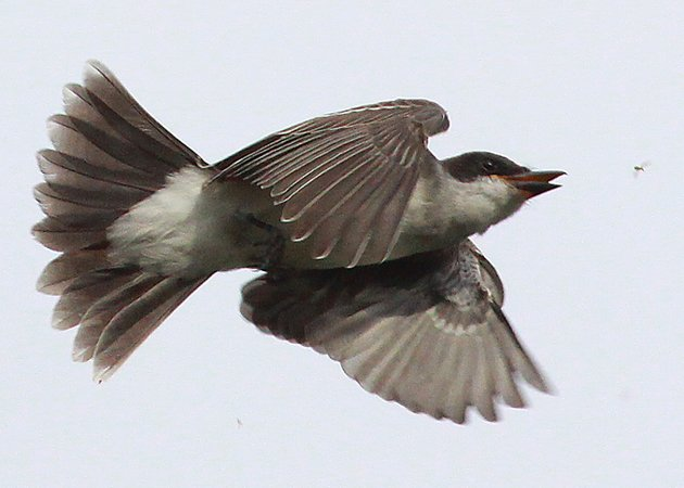 Eastern Kingbird catching a bug