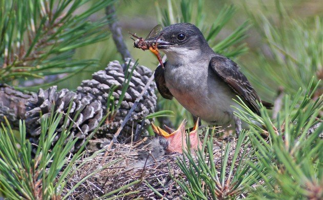 Eastern Kingbird feeding robber fly to nestlings