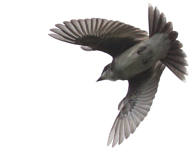 Eastern Kingbird flycatching 2