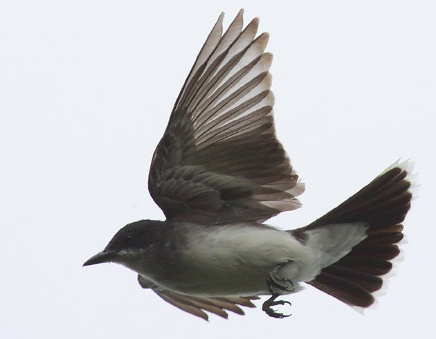Eastern Kingbird flycatching