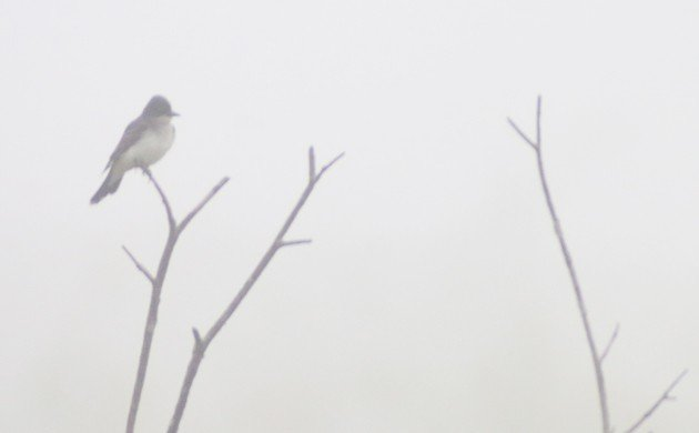 Eastern Kingbird in the fog