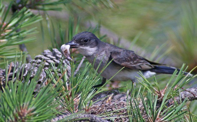 Eastern Kingbird removing a fecal sac