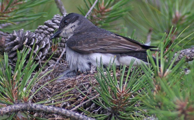 Eastern Kingbird sitting on nest