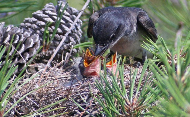Eastern Kingbird stuffing a robber fly into a nestling's mouth