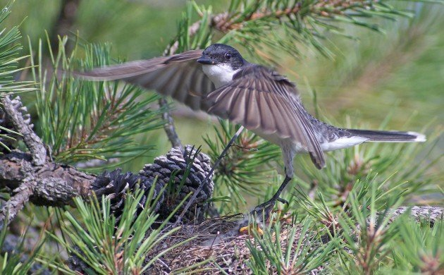 Eastern Kingbird taking off from nest
