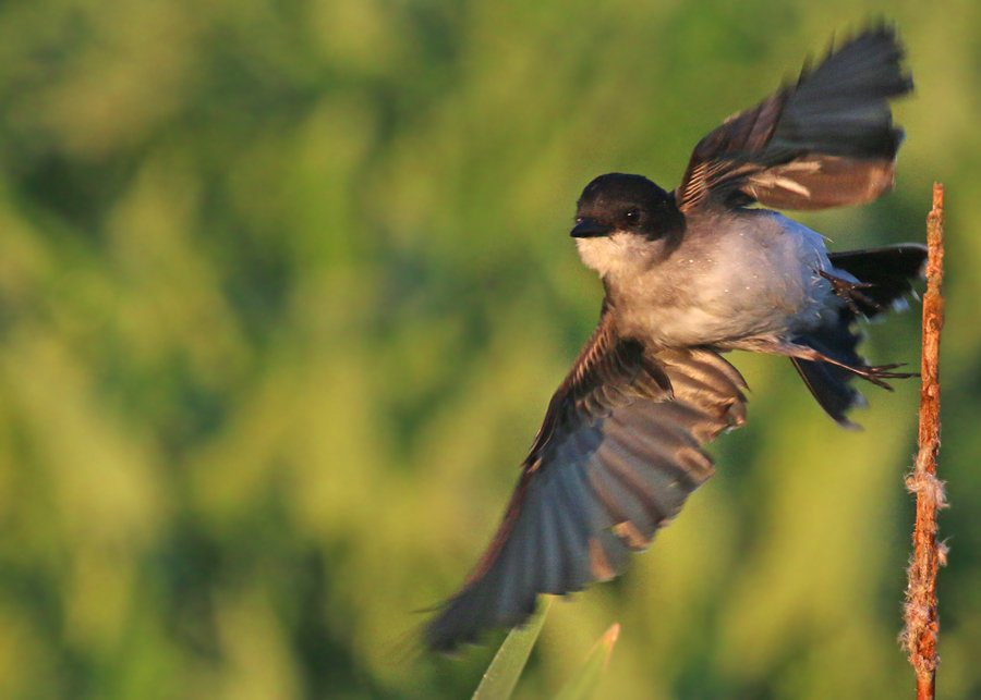 Eastern Kingbird taking off