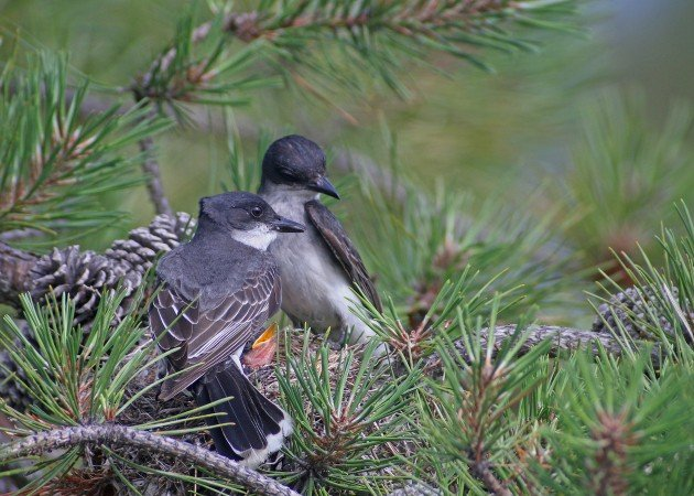 Eastern Kingbirds at nest