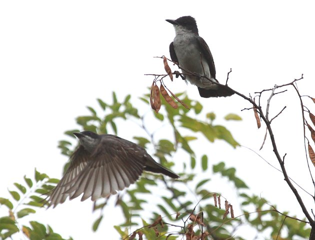 Eastern Kingbirds flycatching