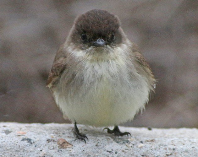 Eastern Phoebe face-on