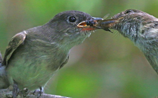 Eastern Phoebe feeding fledgling
