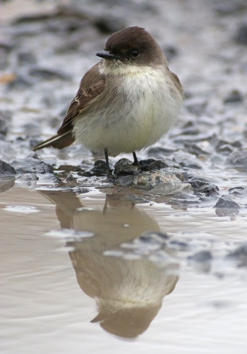 Eastern Phoebe reflection