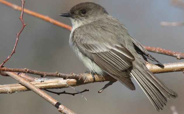 Eastern Phoebe sharp