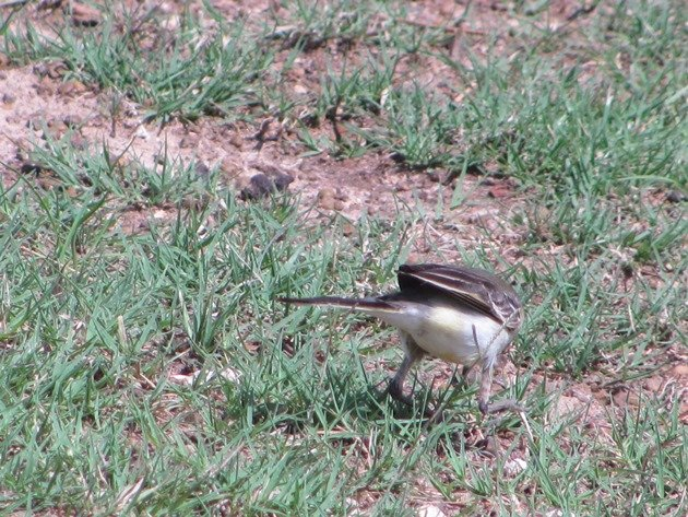 Eastern Yellow Wagtail (10)