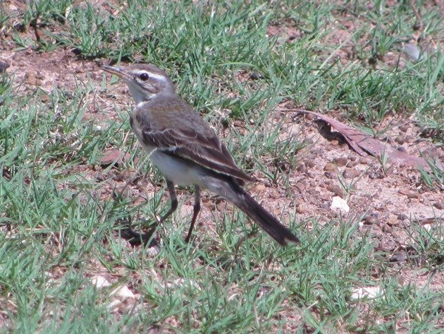 Eastern Yellow Wagtail (11)