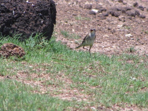 Eastern Yellow Wagtail (4)