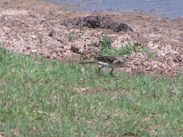Eastern Yellow Wagtail (5)